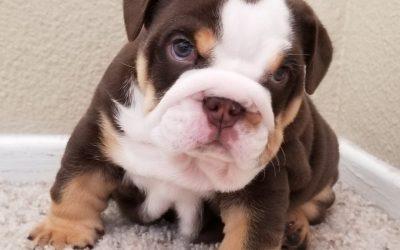 Chocolate Tri Boy English Bulldog