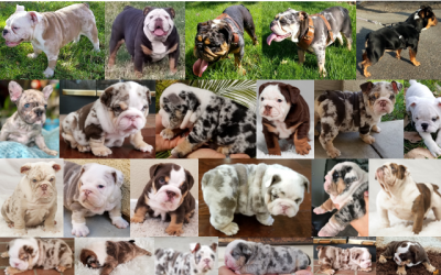 See More Past Puppies English Bulldog Here