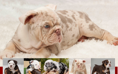 With Flying English Bulldog Colors – Different English Bulldog Colors