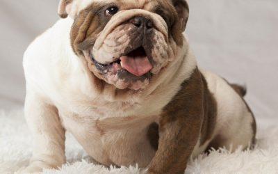 Alergias del bulldog inglés
