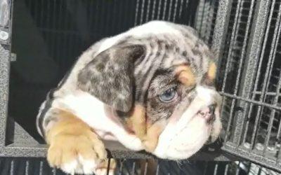 English Bulldog Girl Black Tri Merle