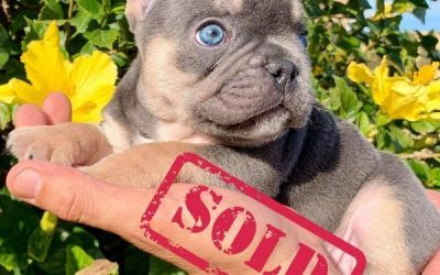 French Bulldog Boy Blue Tri Quad Carrier Chocolate Blue and AT