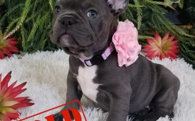 Blue Tri Girl French Bulldog