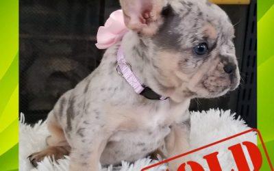 Blue Tri Merle Girl 2 French Bulldog