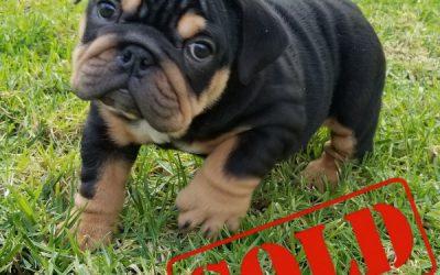 Black Tri English Bulldog Girl Puppy 1