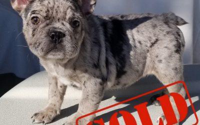 Black Tri Merle Girl French Bulldog