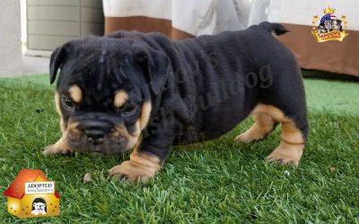 Black Tri Girl English Bulldog Puppy
