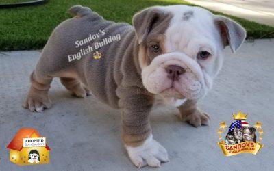 Lilac Tri Boy 1 English Bulldog Puppy