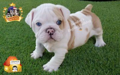 Platinum Lilac Fawn Merle Boy 5 English Bulldog Puppy