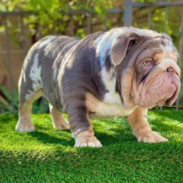 Bubba-Kush Stud Services Bulldog