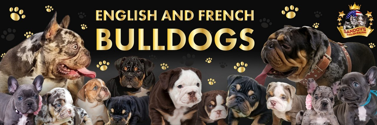 Sandov's English Bulldog