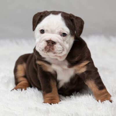 Available Puppies Bulldogs