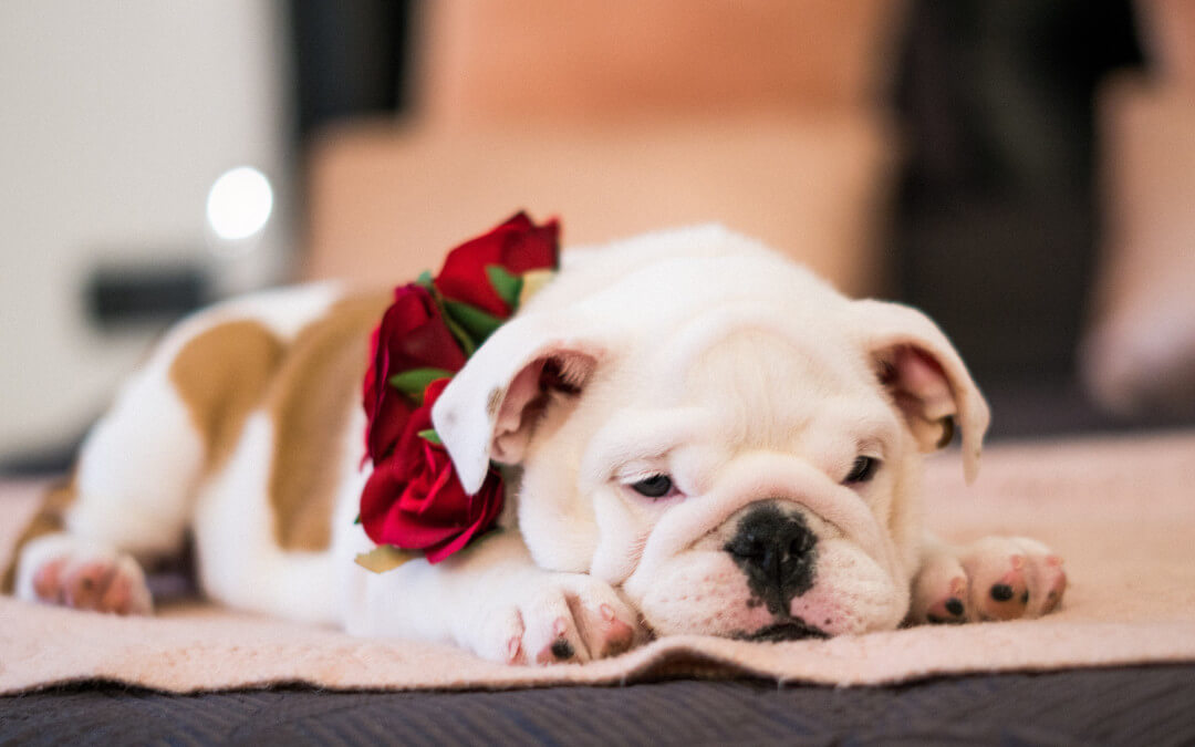 Everything you need to know about bulldogs and their features