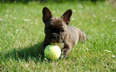 Preparing for a French Bulldog Puppy and House Proofing
