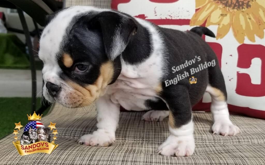 Black Tri Girl 4 English Bulldog Puppy