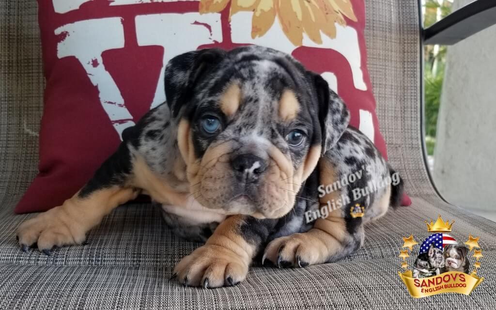 Black Tri Merle Girl 1 English Bulldog Puppy