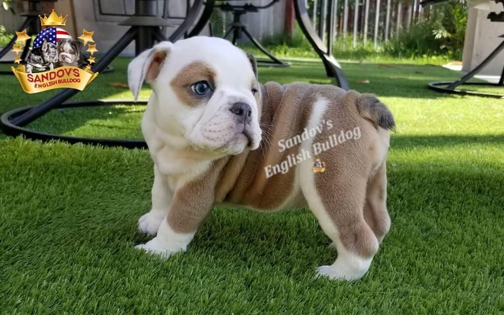Blue Fawn Girl 3 English Bulldog Puppy