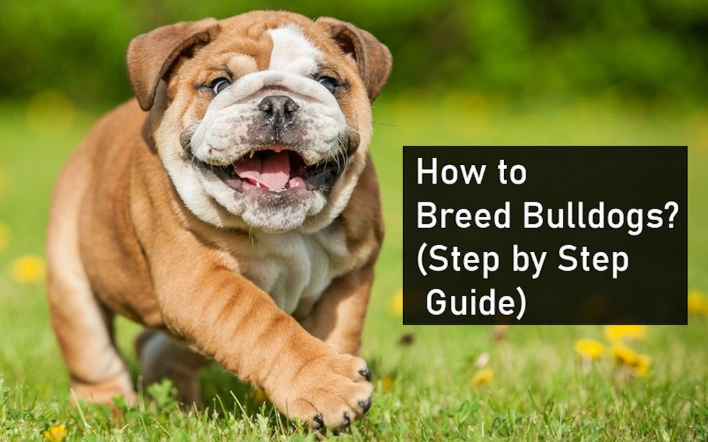 How to Breed Bulldogs Step by Step Guide